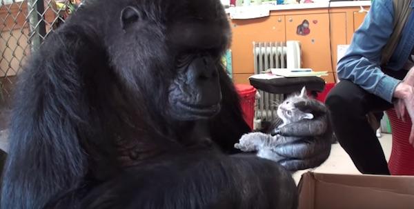 子ネコを可愛がる心優しいゴリラの姿にネット上が感動の嵐【動画】