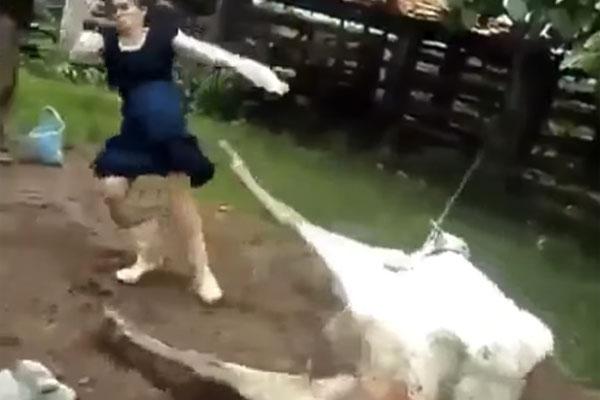 下から突き上げる衝撃の蹴り炸裂!牧場で牝牛が放ったまさかのKO劇がイタすぎる【動画】