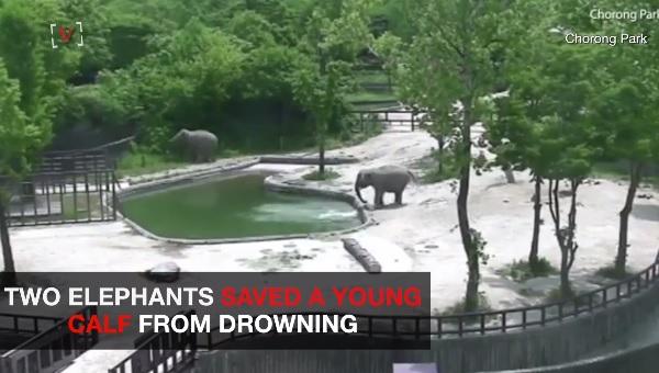 溺れる子ゾウを2頭のゾウが協力して助ける一部始終!【映像】