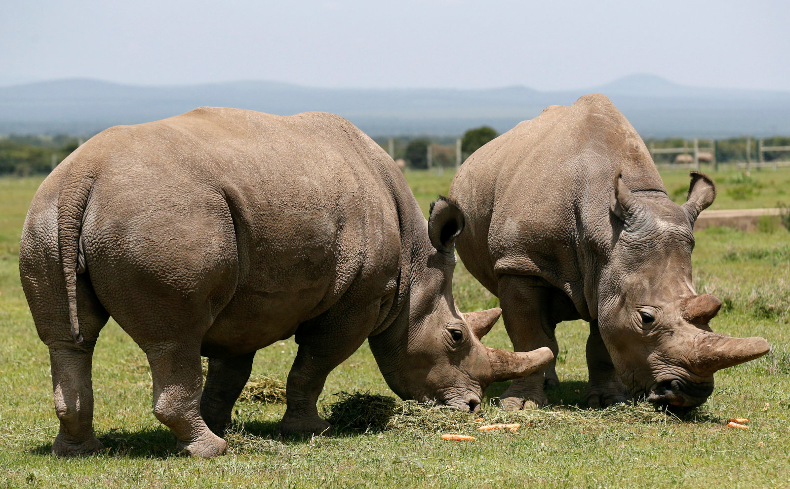 Najin (R) and her daughter Fatou, the last two northern white rhino females, graze near their enclosure at the Ol Pejeta Conservancy in Laikipia National Park, Kenya March 31, 2018. REUTERS/Thomas Mukoya