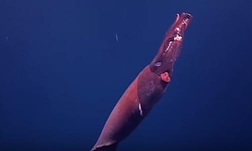 深海に生息する巨大ムチイカの姿をとらえた映像がスゴすぎる【動画】