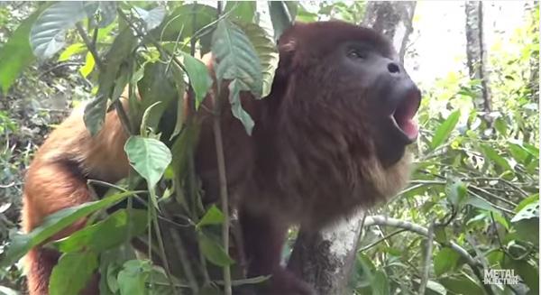 マキシマム ザ ホルモンかよ!デスヴォイスでシャウトする猿が発見される