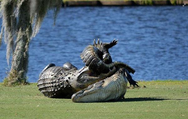 またフロリダかよ!ゴルフ場で巨大アリゲーター2匹が出没、激しいバトルを展開する事案が発生【動画】