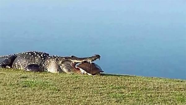 ゴルフ場を震撼させた巨大ワニが再び出現!トンでもないモノをくわえているッ!【動画】
