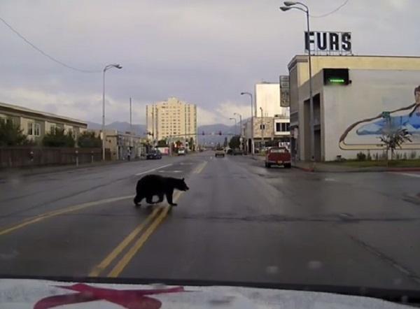 街を徘徊し続けるクマを警察の車載カメラが追跡!