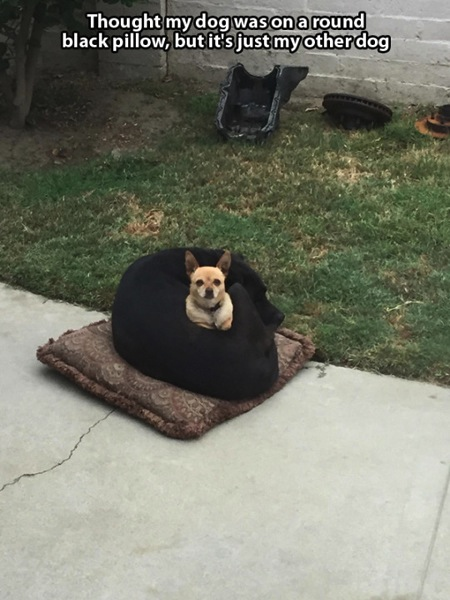 dogs sitting on dogs, chihuahua sits on black dog