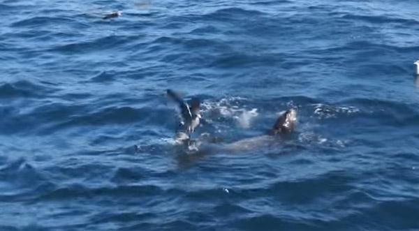 自然の厳しさを痛感する水中バトル!アシカ対サメの死闘がスゴすぎる【動画】