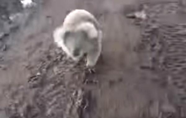 バギーに猛ダッシュで追いかけてくるコアラが怖すぎるwww【動画】