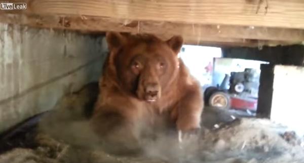 家の下を見たら・・・巨大なヒグマが普通に住んでた!一部始終を記録した衝撃映像が怖すぎる