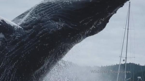 【大迫力!】巨大ザトウクジラのジャンプを間近で撮影!ネット上で話題に