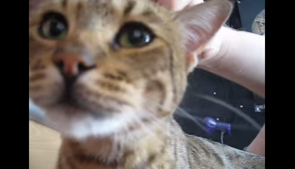 毎朝決まった時間にニャーニャーと起こしに来るネコが可愛すぎる【動画】