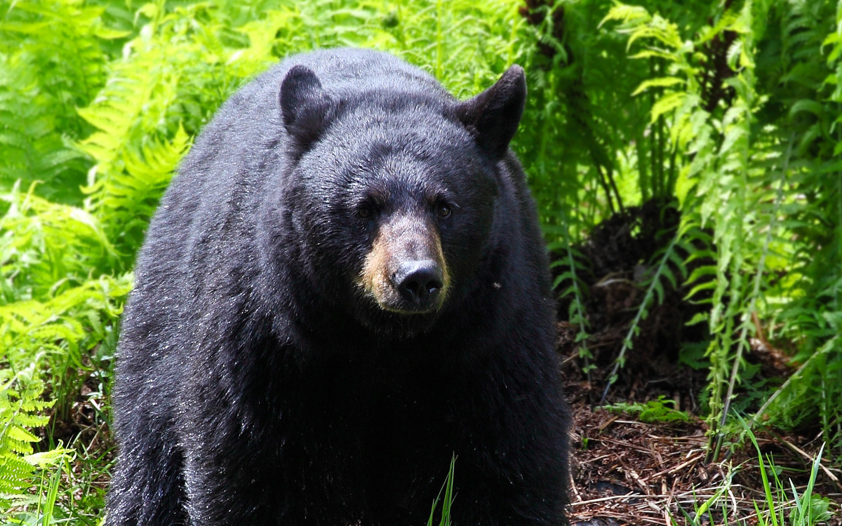 Drone observers give bears a lot of hidden stress