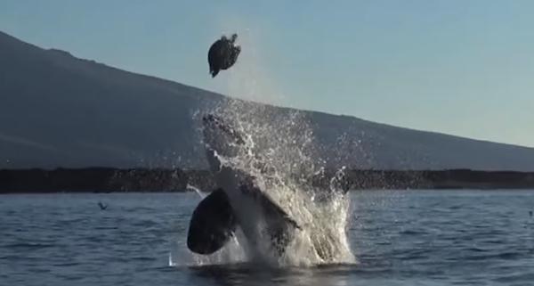 ちょ、やめたげて・・・! ウミガメを空高く放り投げるイジワルなシャチ【動画】