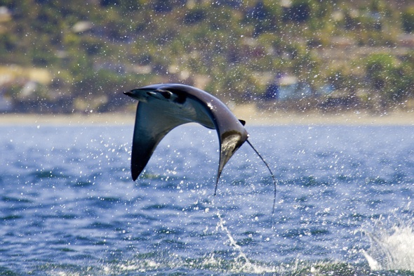 Flying giants: Incredibly rare display as manta rays leap 3ft out ...