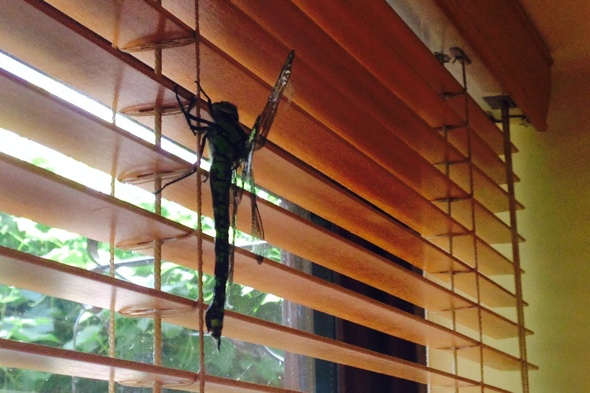 Huge 'Jurassic-sized' 8-inch dragonfly found in Buckinghamshire living room