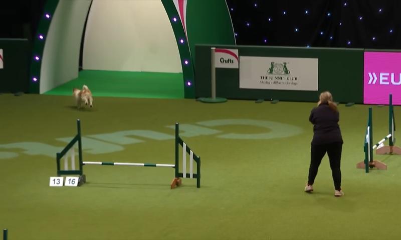 犬の障害物競争で懸命に走り回るジャックラッセルテリアが可愛すぎ!【動画】