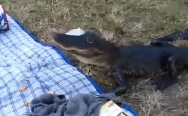 ワニが学生達のピクニックに乱入、普通にサンドイッチを食べる!【動画】