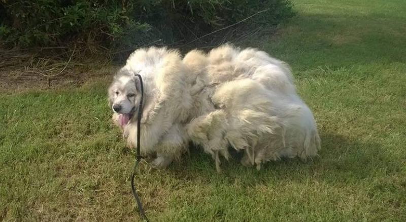 羊のように毛が伸び過ぎたワンコ、刈ったら毛の重量が約15キロ以上もあった