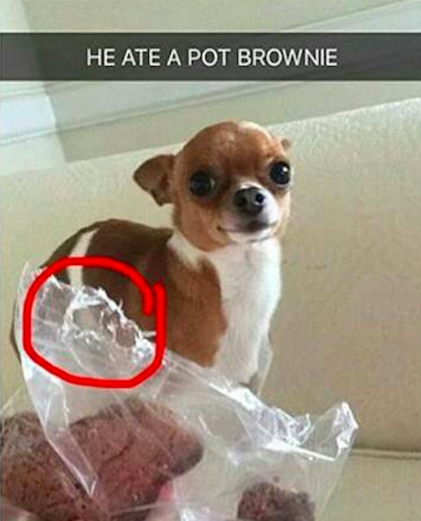This Is The Outcome When A Tiny Dog Eats A Pot Brownie