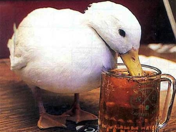 drinking toasts to make everyone love you, funny drinking toasts, duck drinking beer