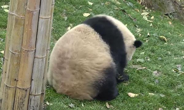 まるまるパンダがひとりでコロコロ転がってて可愛いすぎるwww【動画】