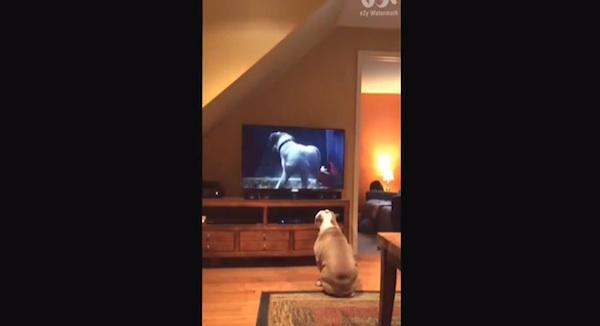 犬が出てくるCMに熱中するブルドッグが可愛すぎるとネット上で話題に【動画】