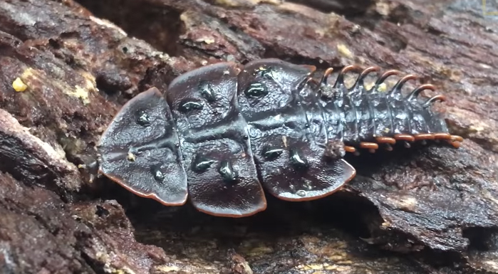 シンガポールで珍しい虫「サンヨウベニボタル」が発見される【動画】