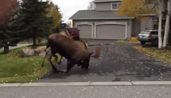  家の前で巨大なヘラジカが大相撲しててシャレにならないwww【動画】