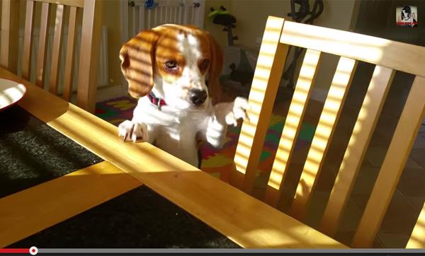 「おもちゃとベーコン交換しない?」 賢いビーグル犬の交渉術が可愛すぎ