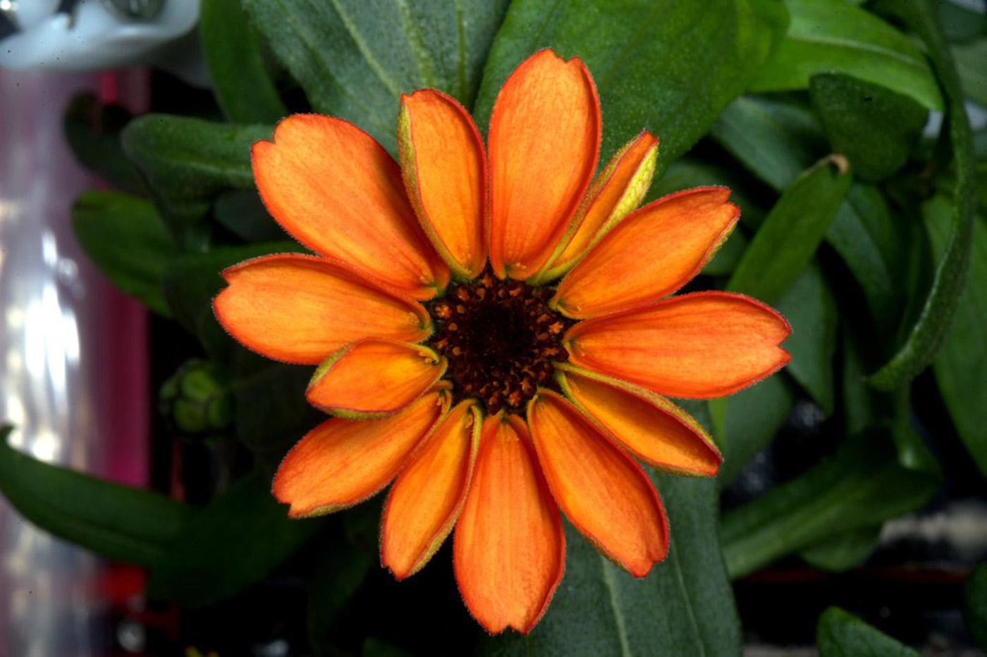 Esta es la primera flor crecida en el espacio