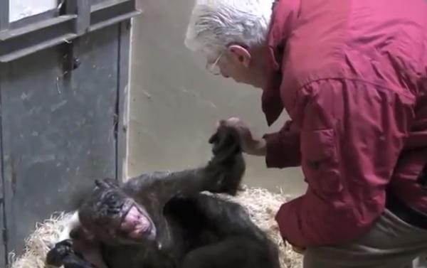 死を間際にしたチンパンジーが「旧友」との再会で満面の笑み【映像】