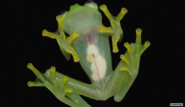一見普通の小さなカエル、でもお腹側から見ると・・・?