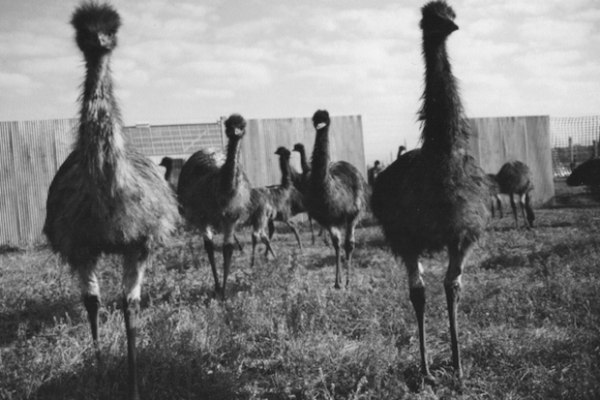 most hilarious moments from history, funny history, great emu war 1932 australia
