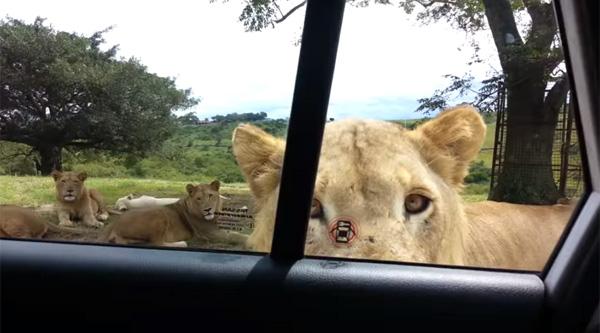 動物園でライオンの群れが車のドアを開けてきたら?怖すぎる衝撃映像が話題に