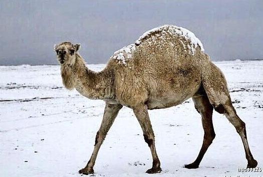 サウジアラビアで大雪!慣れない雪に地域性が出まくりな雪遊び写真がネット上で話題に