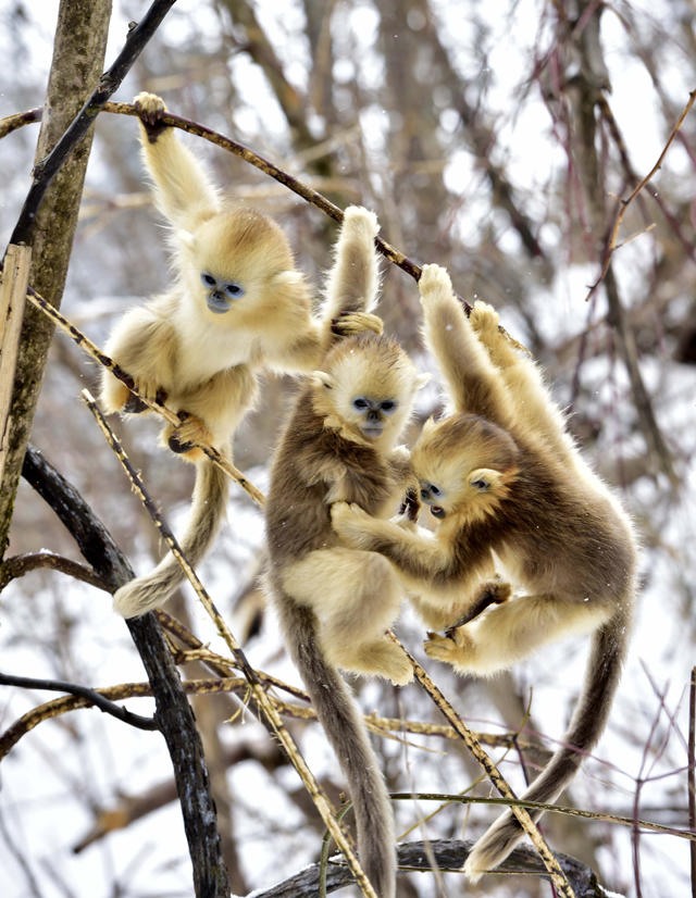 Mandatory Credit: Photo by Xinhua/REX/Shutterstock (5540469p) Golden monkeys at Dalongtan Golden monkeys Research Center in Shennongjia, central China's Hubei Province Dalongtan Golden monkeys Research Center, Shennongjia, China - 13 Jan 2016 The Shennongjia Nature Reserve is home to the rare Golden monkeys, which is on the verge of extinction and was first spotted in Shennongjia in the 1960s. The amount of Golden monkeys in Shennongjia right now has doubled since the 1980s because of better environmental protection