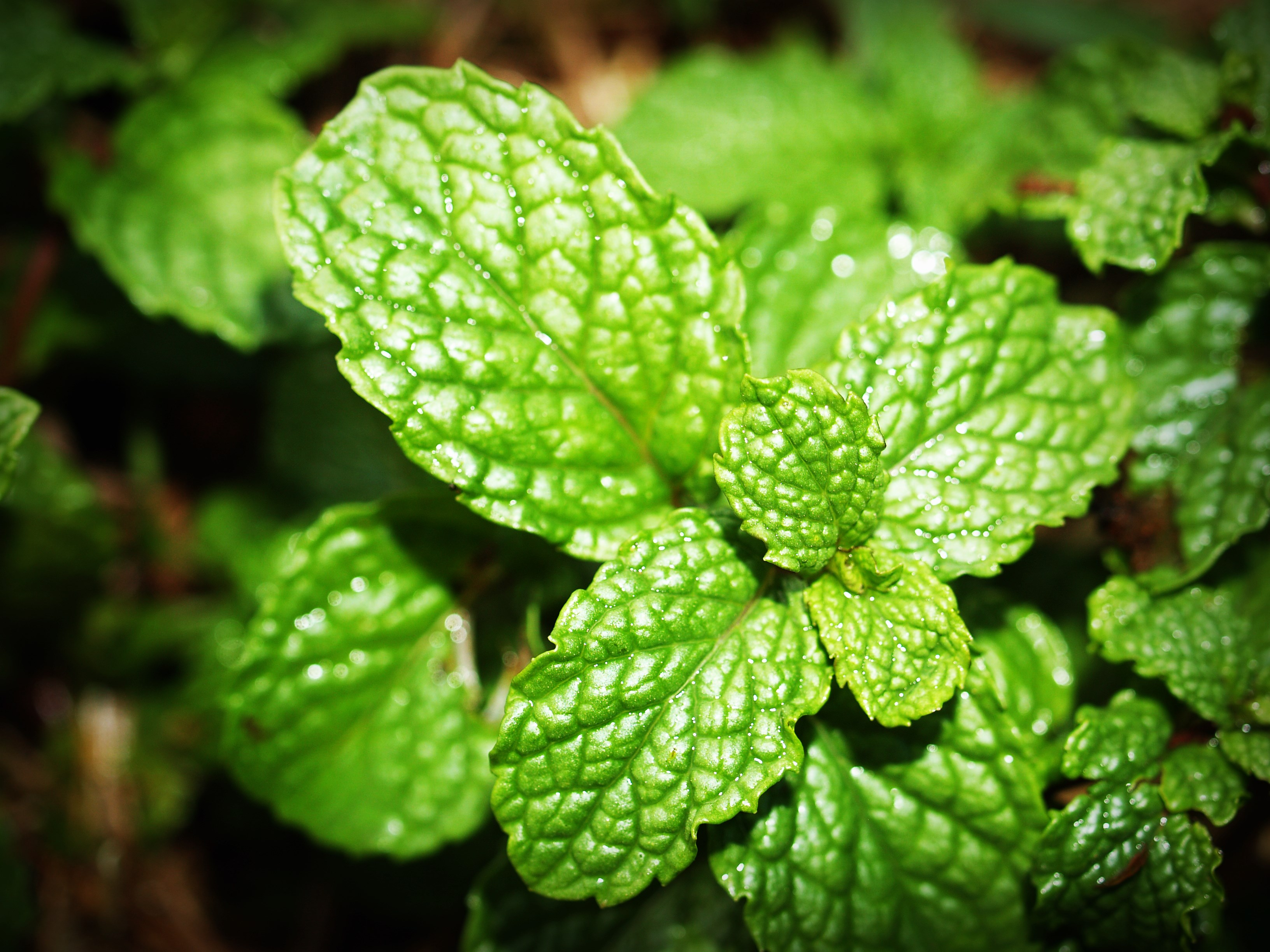 mint-herb-growing-garden