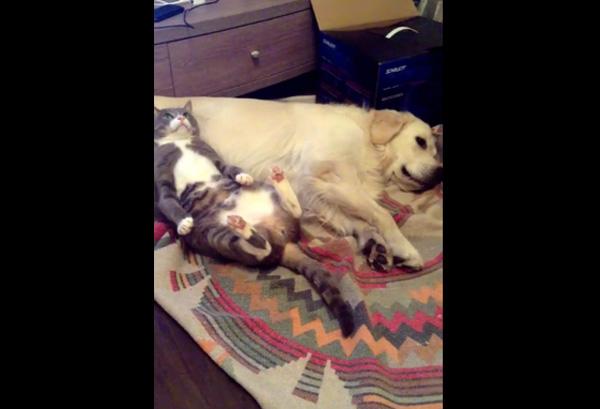 犬を枕にしてガン寝するネコが可愛すぎると話題に【動画】