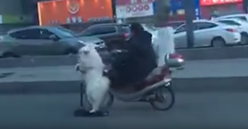 もしかして中に人、入ってる!? キックボードに乗ってスクーターと並走するワンコが話題に