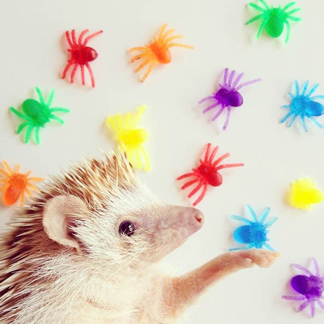 Instagram Darcy The Flying Hedgehog
