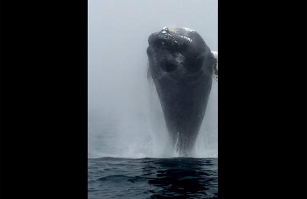 近い!デカい!怖い! ザトウクジラの衝撃的すぎるジャンプ映像が海外で話題に