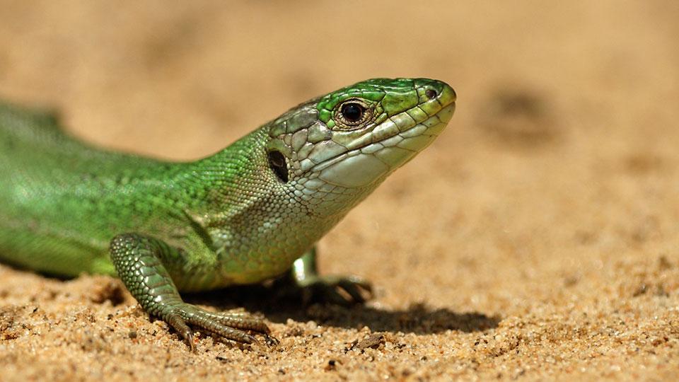 A Western Green Lizard
