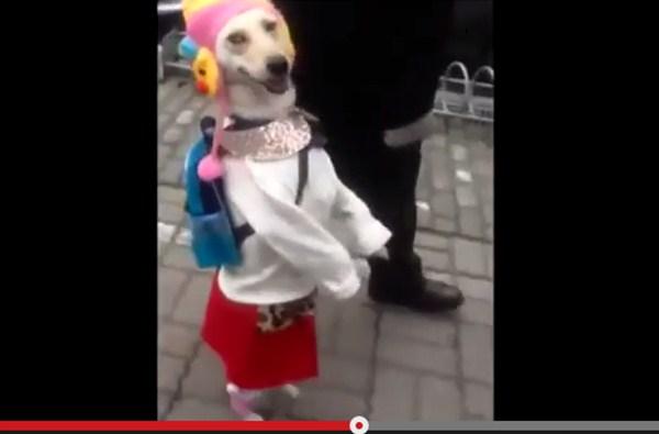中国発・二足歩行で散歩する「謎の女装犬」のドヤ顔に世界中から爆笑の嵐
