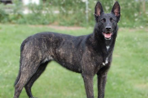 most badass dogs in the world, amazing dogs, rocky dutch shepherd