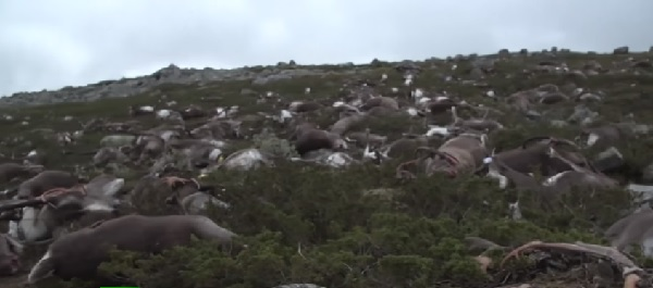 落雷が原因か? ノルウェーの高原で323頭ものトナカイが大量死