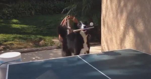 卓球をするボーダー・コリーのワンちゃんが発見される!人間より上手いかも!?【動画】
