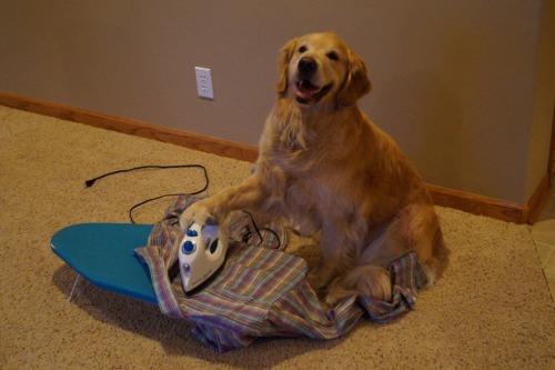 Dog ironing pic