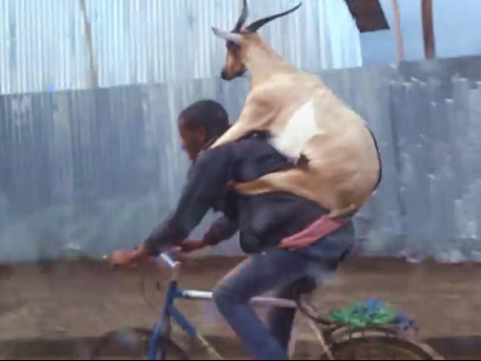 Ziege, goat, fahrrad, bike, lustig, funny, komisch, witzig, afrika, addis abeba, lustig, lustich, film, lol