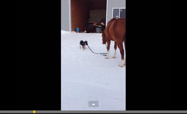 大きな馬を散歩に連れて行く可愛すぎる子犬に感動と称賛の嵐