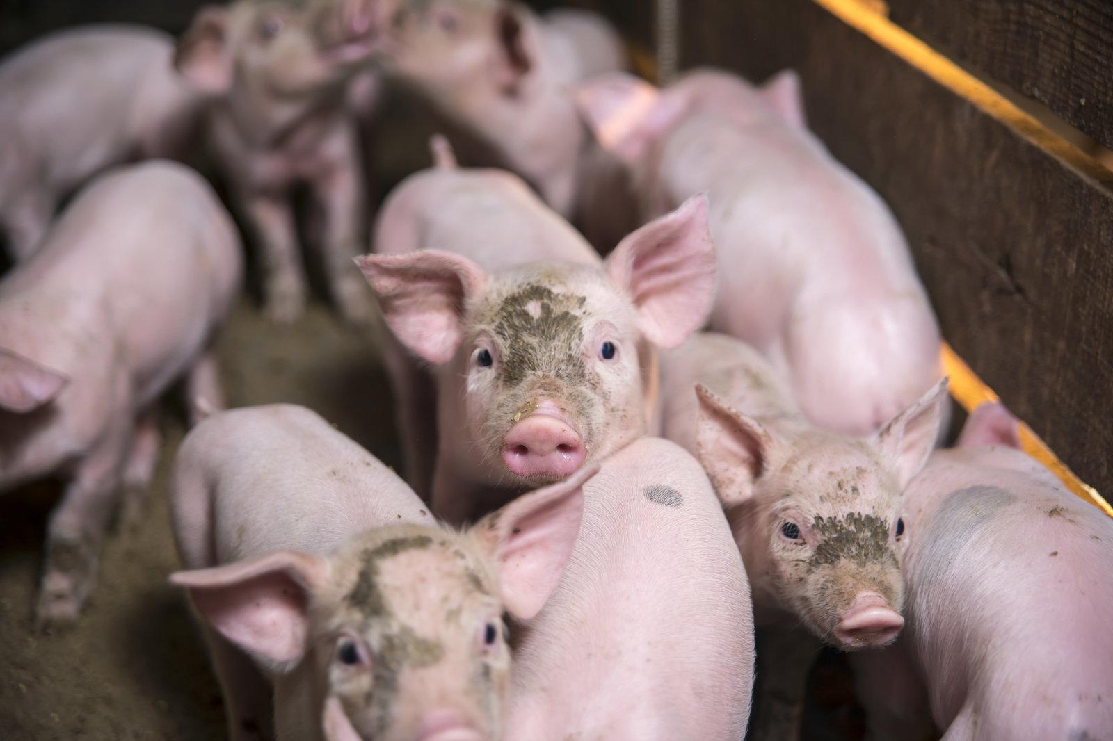 Little pigs in the pen.